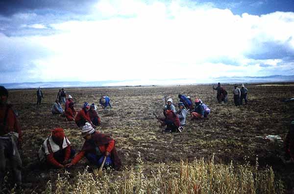 Champ de Maca dans les hauts-plateaux péruviens