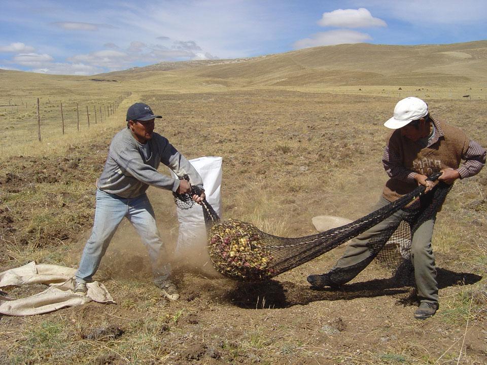 Nettoyage de la maca pour enlever la terre