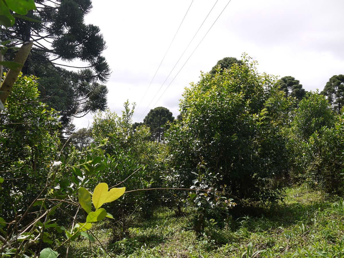 Plantation de maté - Plante originaire d'Amérique du sud de la famille du Houx