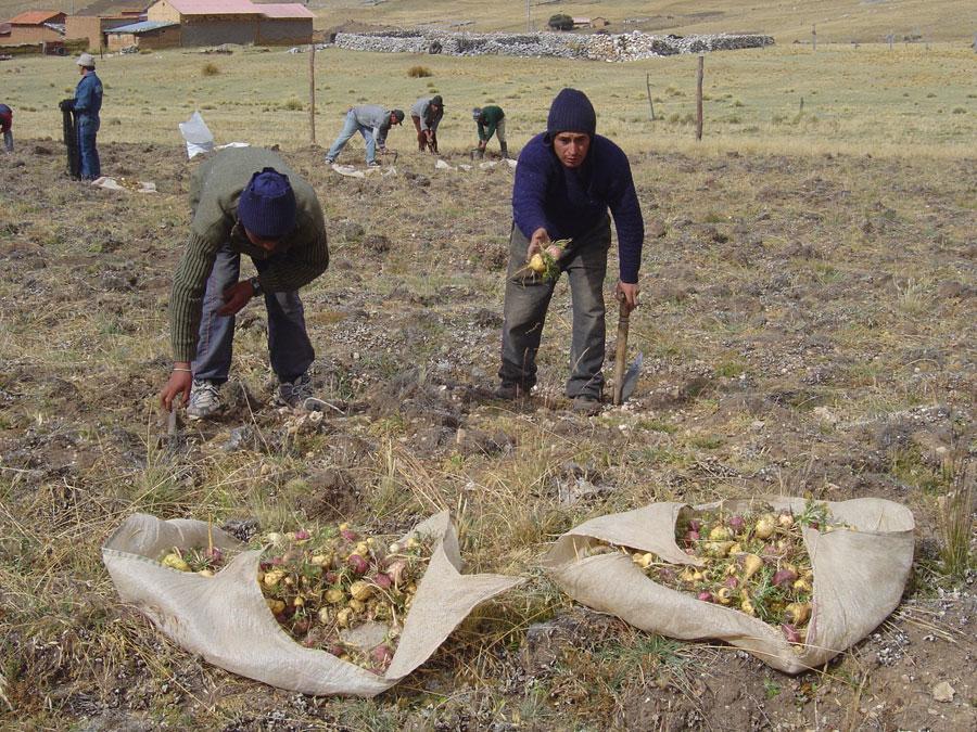 recolte-de-maca-en-juin-2007-saldac