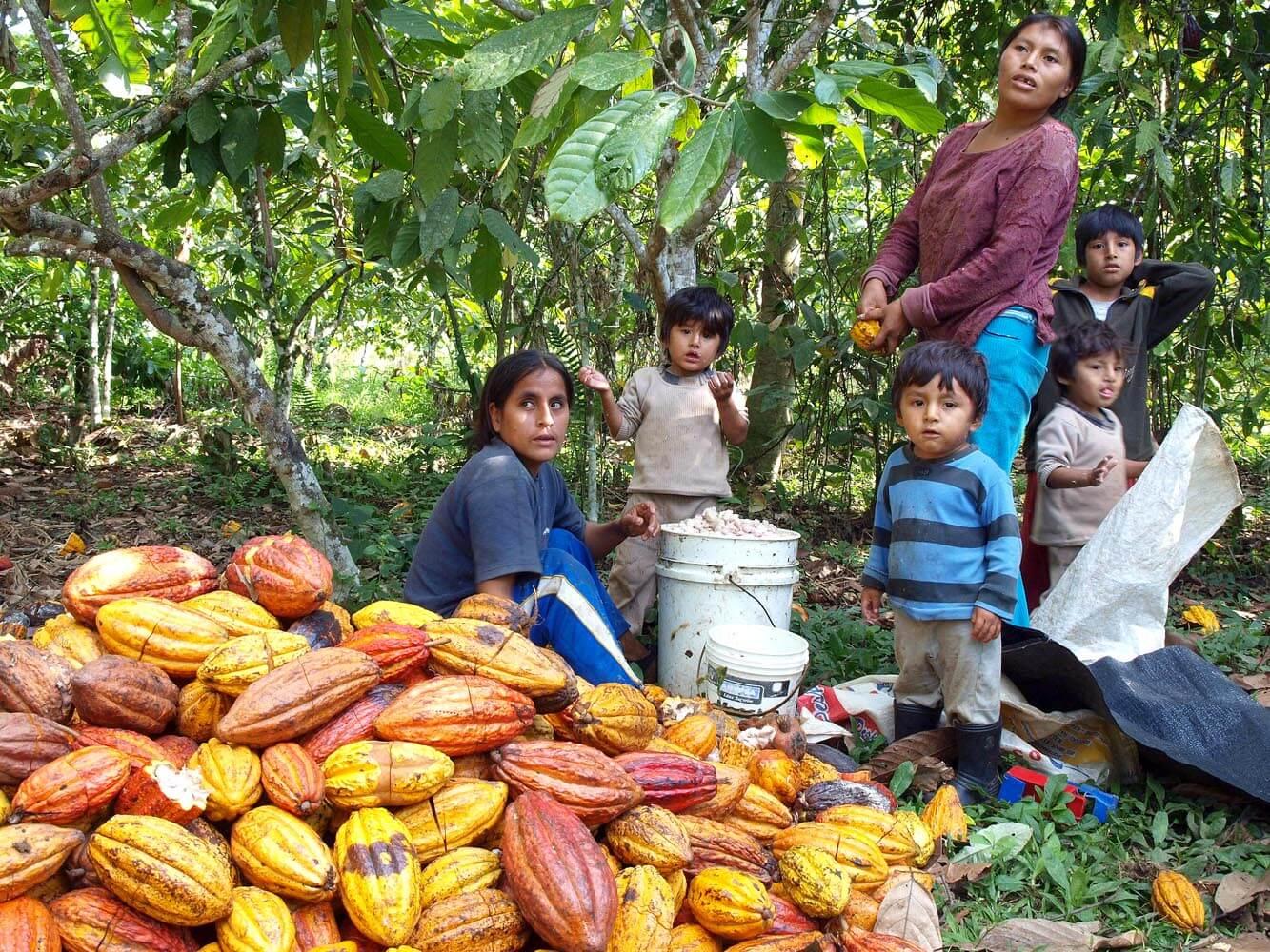 Découpe des cabosses de cacao