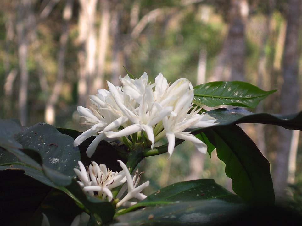 la-fleur-du-cafeier-saldac