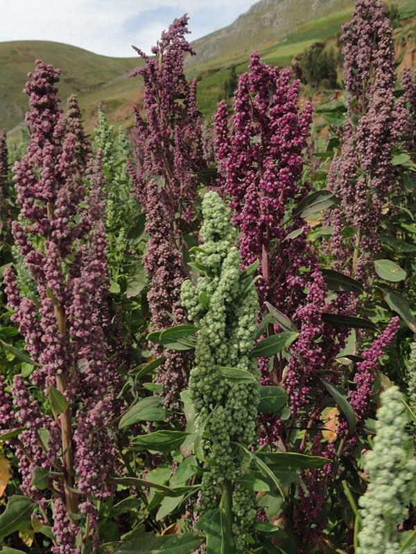 La quinoa presque mûre