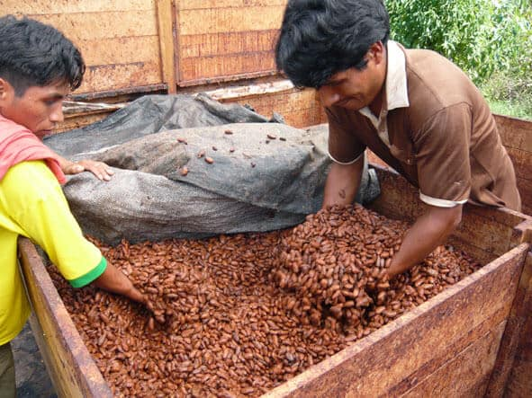 le-cacao-a-fini-sa-fermentation-saldac