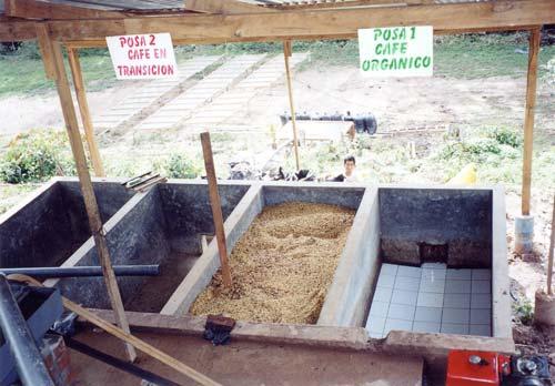 les-grains-de-cafe-dans-le-bac-de-fermentation-saldac