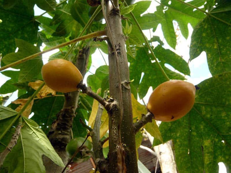 Papayes sylvestres