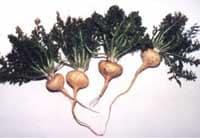 racines-de-maca-saldac