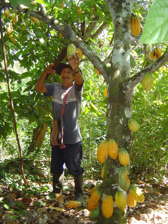 recolte-du-cacao-saldac