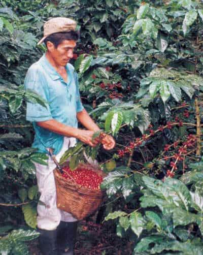 Récolte sélective : seulement les grains mûrs