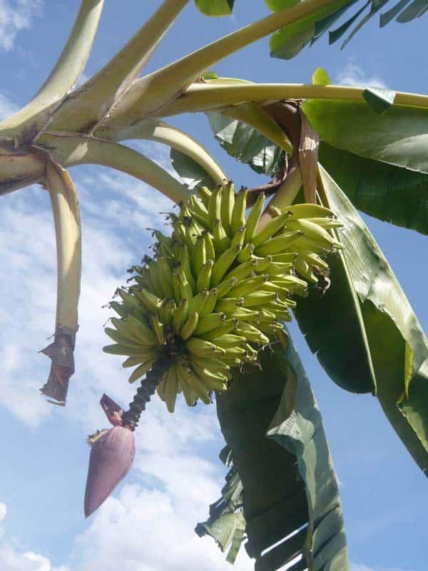Un régime de bananes roses, Zotani 2010