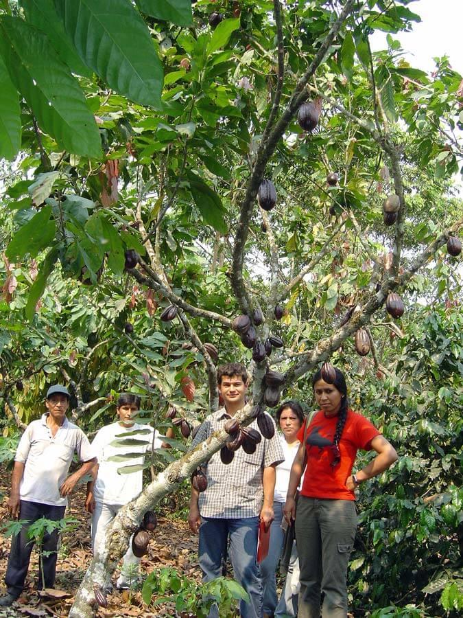 Dans les champs de cacao - SALDAC