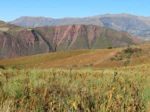 Les champs d'amarante secs, prêts pour la récolte