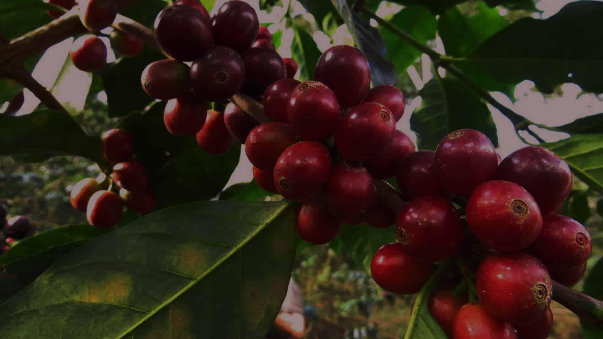Saldac importe du pérou le café el palomar